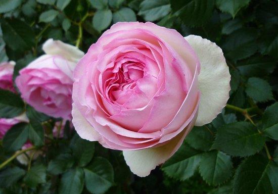 Utsubo Park: 可愛いコロンとしたバラ