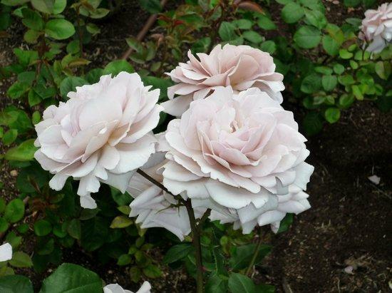 Utsubo Park: 大人っぽい灰色のバラ