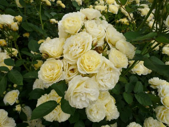 Utsubo Park: ブーケのような黄色いバラ