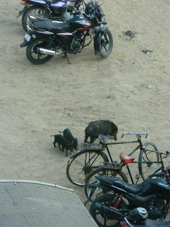 Country Inn & Suites By Carlson, Sector 29: Los cerdos que viven sueltos alrededor (sin simpáticos :) )