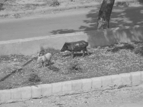 Country Inn & Suites By Carlson, Sector 29 : Los cerdos que viven sueltos alrededor (sin simpáticos :) )