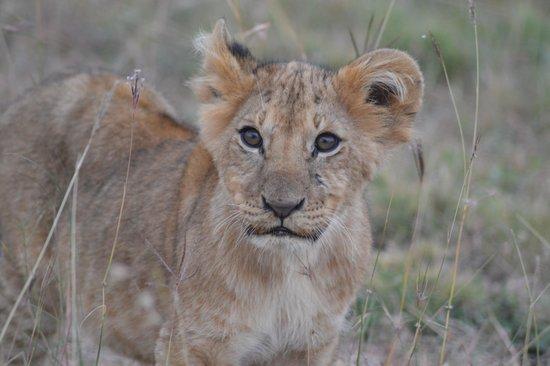Royal Mara Safari Lodge: cub