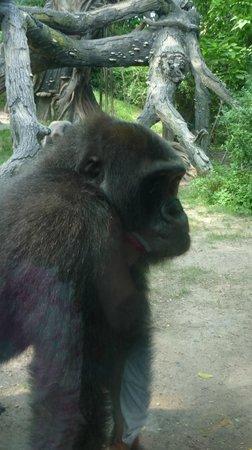 Bronx Zoo: Esemplare di gorilla di montagna