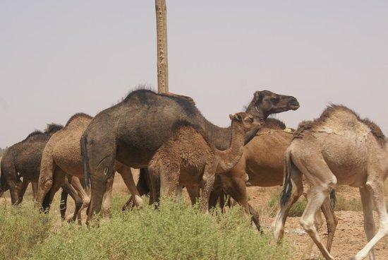 Morocco Extra Tours - Day Tours: Manada de dromedarios.