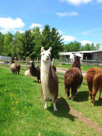 Storybook Farm Llama Trekking B&B: llamas