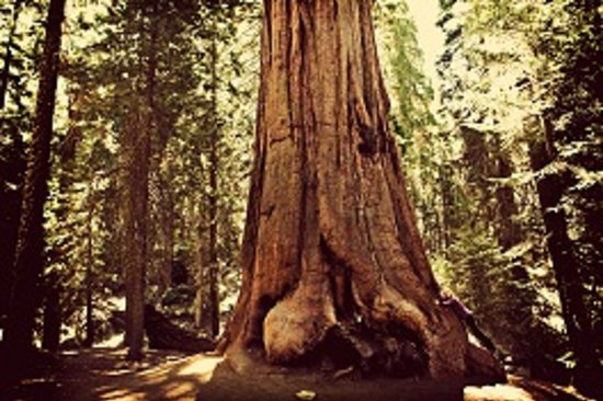 Visalia, Californien: Sequoia National Park is home to the world's largest thing, the General Sherman Tree!
