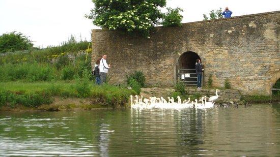 The Trout at Tadpole Bridge: Swans at The Trout, Tadpole Bridge