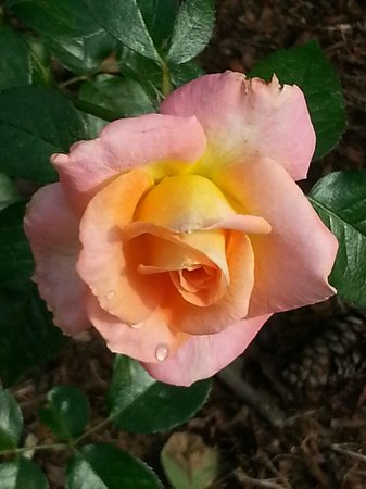 JC Raulston Arboretum at NC State University: One of many gorgeous roses