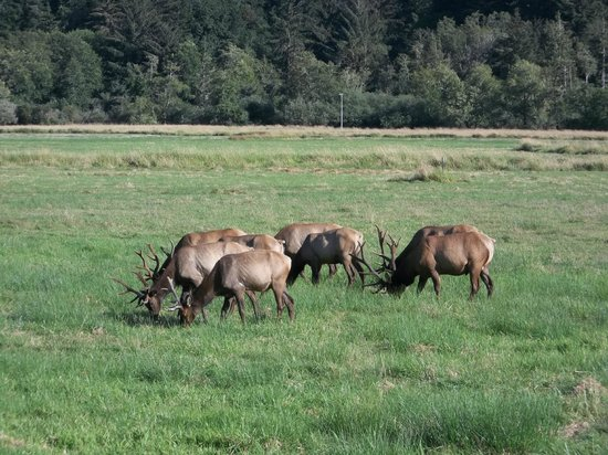 Dean Creek Elk Viewing Area: These were easy to see with binalculars.