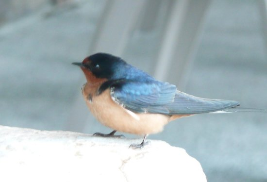 Knight Inlet Lodge: Barn swallow