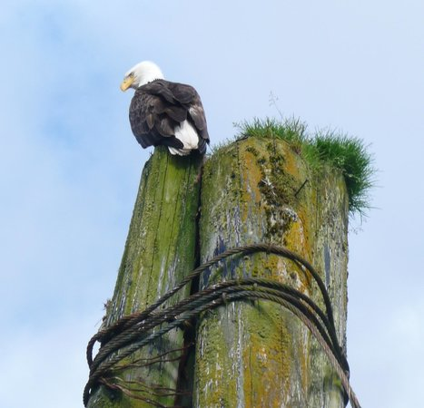 Knight Inlet Lodge: Eagle