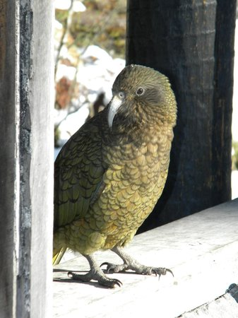 4X4 Adventures : Kea - Alpine Parrot