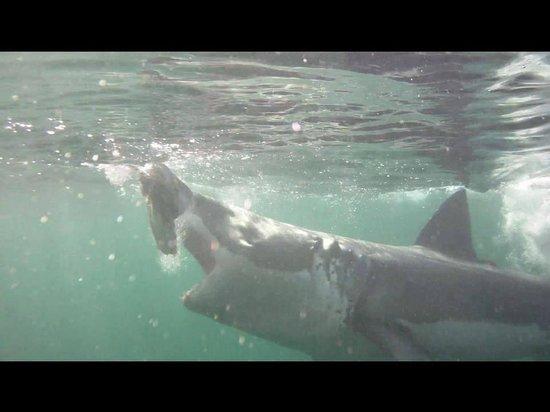 White Shark Diving Company: Shark bait!