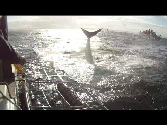 White Shark Diving Company: Shark flip