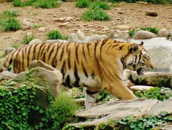 Seoul Grand Park : Tiger