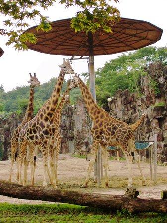 Seoul Grand Park : Giraffe