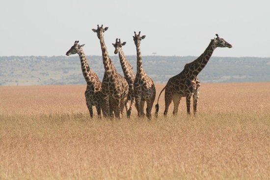 Tipilikwani Masai Mara Camp: .