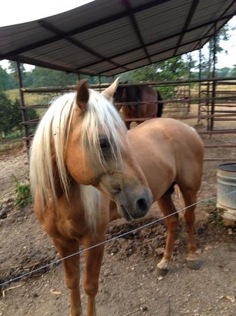 Bucks and Spurs Guest Ranch : The Palomino stallion