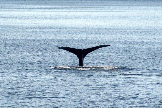 Inside Passage: Humpback Whale Fluke