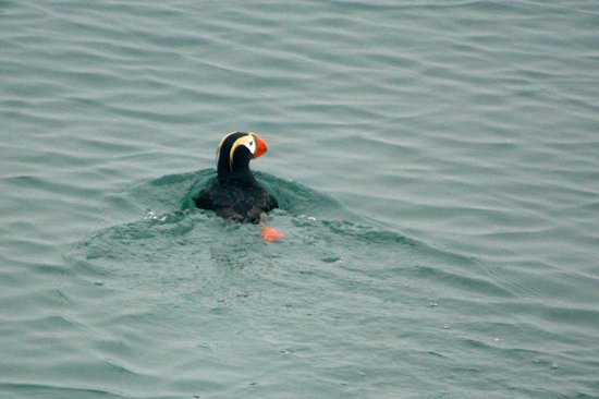 Inside Passage: Puffin near South Marble Island