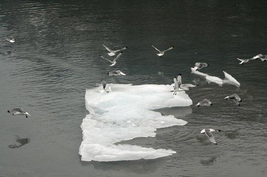 Inside Passage: Gulls on iceberg in Glacier Bay