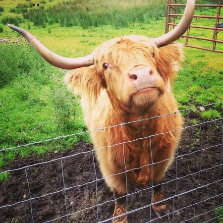 The Hairy Coo - Free Scottish Highlands Tour: The real Hairy Coo!