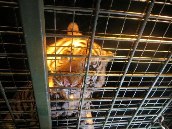 Mara River Safari Lodge: night safari tiger feeding
