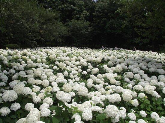 Sagamihara, Nhật Bản: 一面のアナベル  (アナベル以外にも沢山あります)