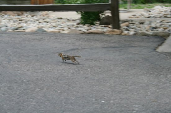 Streamside on Fall River: Little chipmunks everywhere- they will come inside your cabin if you leave your door open too lo
