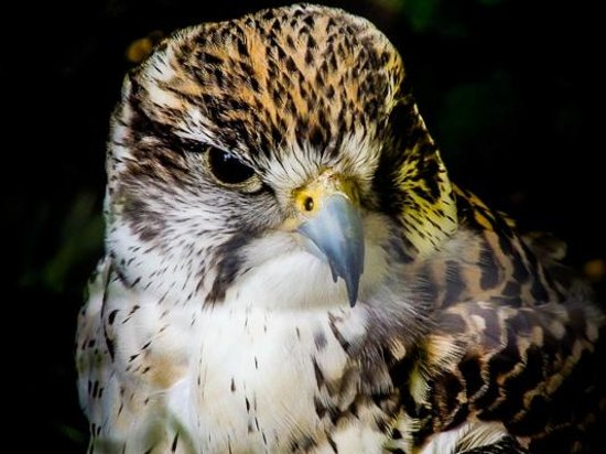 Luray Zoo - A Rescue Zoo: Falcon