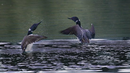 Grizzly Bear Ranch : LOONS ON TROUT LAKE