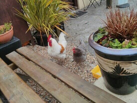 Bre Pen Farm B&B : chickens join us for breakfast outside the farm shop :)