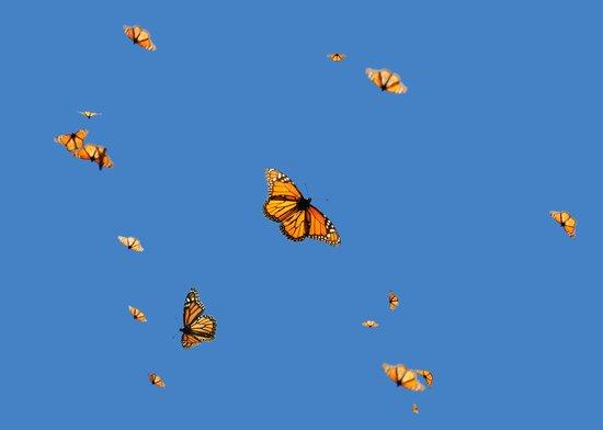 Plaza Don Gabino Hotel : Monarchs in flight