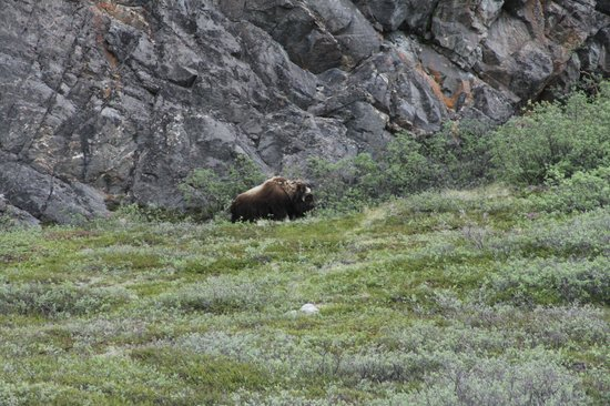 World of Greenland Arctic Circle - Day Tours: Moskusoksen XLarge