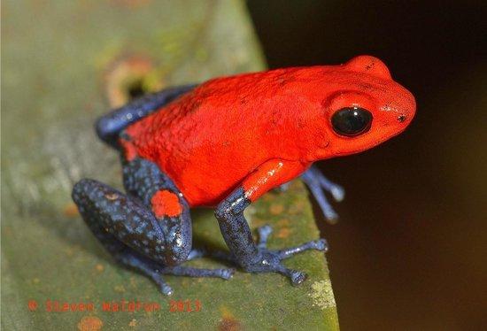 Rara Avis Rainforest Lodge & Reserve: Pumilio
