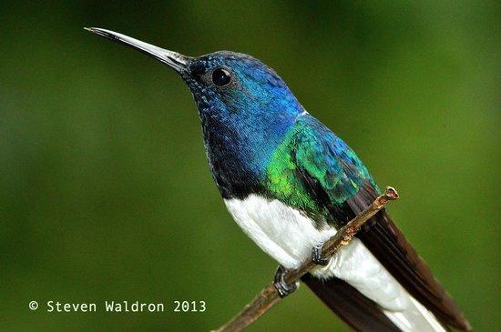 Rara Avis Rainforest Lodge & Reserve: Colibri
