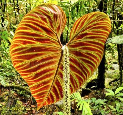 Rara Avis Rainforest Lodge & Reserve: Philodendron verrucosum