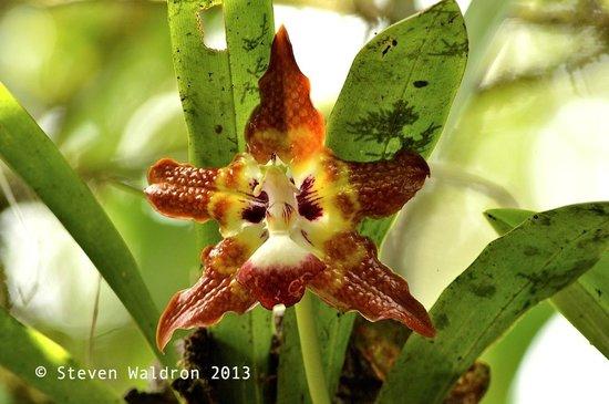 Rara Avis Rainforest Lodge & Reserve: Huntleya orchid in the rainforest