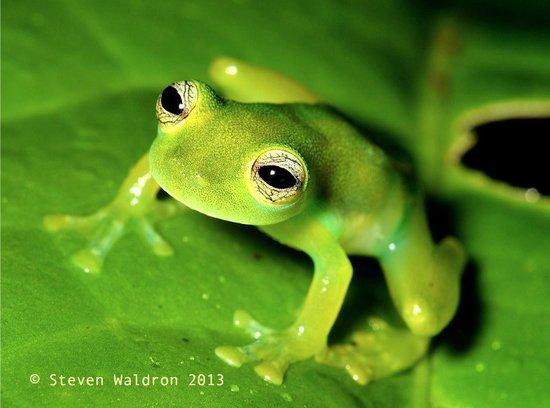 Rara Avis Rainforest Lodge & Reserve: Glass frog