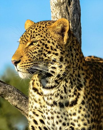 Hoyo-Hoyo Safari Lodge: Leopard