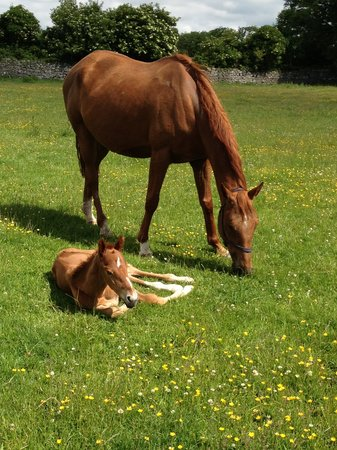 Cahergal Farmhouse: foal