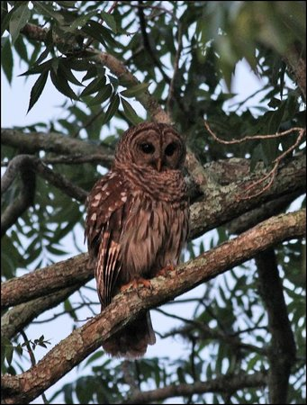 Country Charm Bed and Breakfast: Barred owl in the big trees.