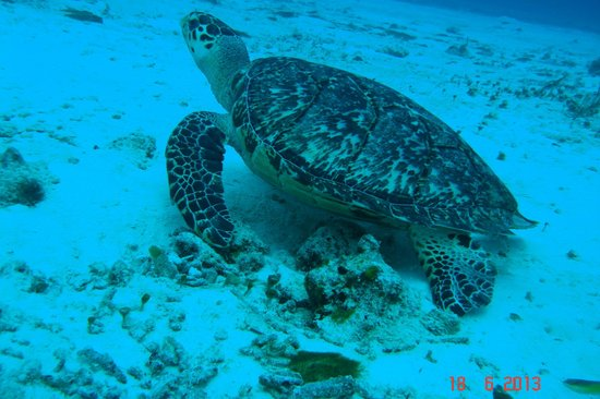 Royal Level at Occidental Cozumel : friendly turtle-don't touch