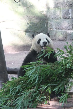 Chongqing Zoo (Chongqing Dongwuyuan): Any question why Pandas are the WLF spokes-species?