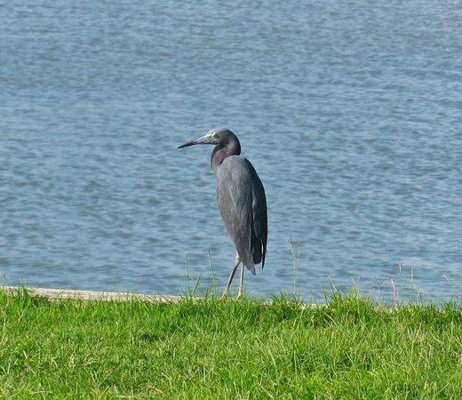 Bluewater Resort and Marina : Wildlife around the pond