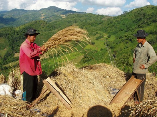 Akhajulyah Guesthouse: Harvesting of the rice