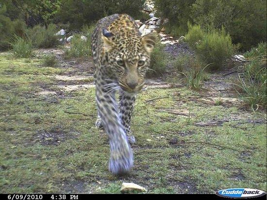 Blue Hill Escape: Leopard roaming the property