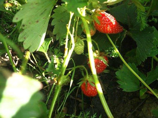 La Maison Verte : Fresh strawberries from the garden