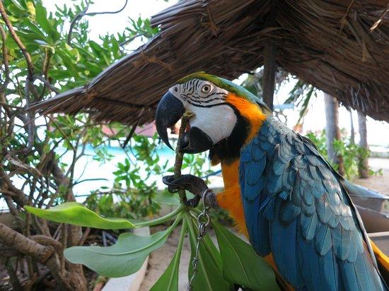 Thulhagiri Island Resort: Chained Macaws