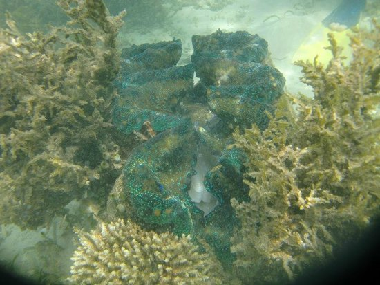 Isle of View Beach Resort And Guesthouse: Snorkeling around with Bill. Giant clam, Touch at your own risk.